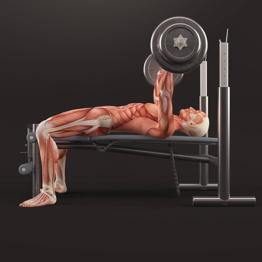 modelfoto af muskulaturen under et baenkpres med vaegtstang 1024x1024